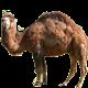 Гибрид верблюда (нар)