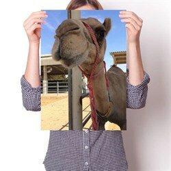 Постер - Верблюд Любопытный