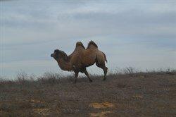Верблюд  - Астерикс