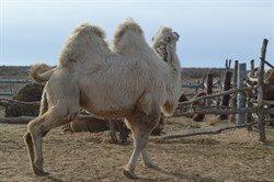 Верблюд  - Опиум