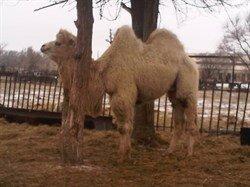 Верблюжонок - Белоснежка