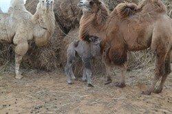 Верблюдоматка с верблюжонком - Инесса