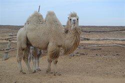 Верблюдоматка с верблюжонком - Илона